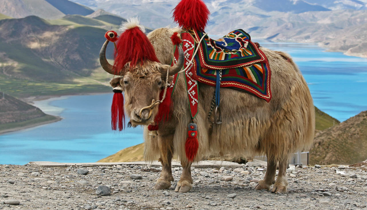 Yak am Yamdrok Tso in Tibet