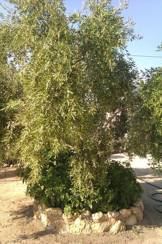 Olivenbäume, Feigen, Zitrusfrüchte, Mandelbäumchen und Granatäpfel