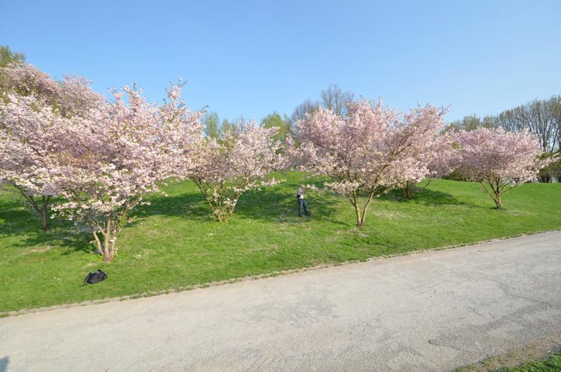 Kirschblüte im Olympiapark München