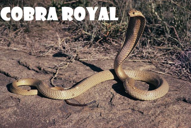 Le Cobra Royal : Protecteur de l'Enfant Sacré