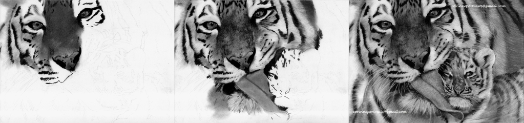 Tigre de Sibérie/Siberian tiger - Fusain et pierre noire/Charcoal and black chalk pencil - A4- Mars 2012
