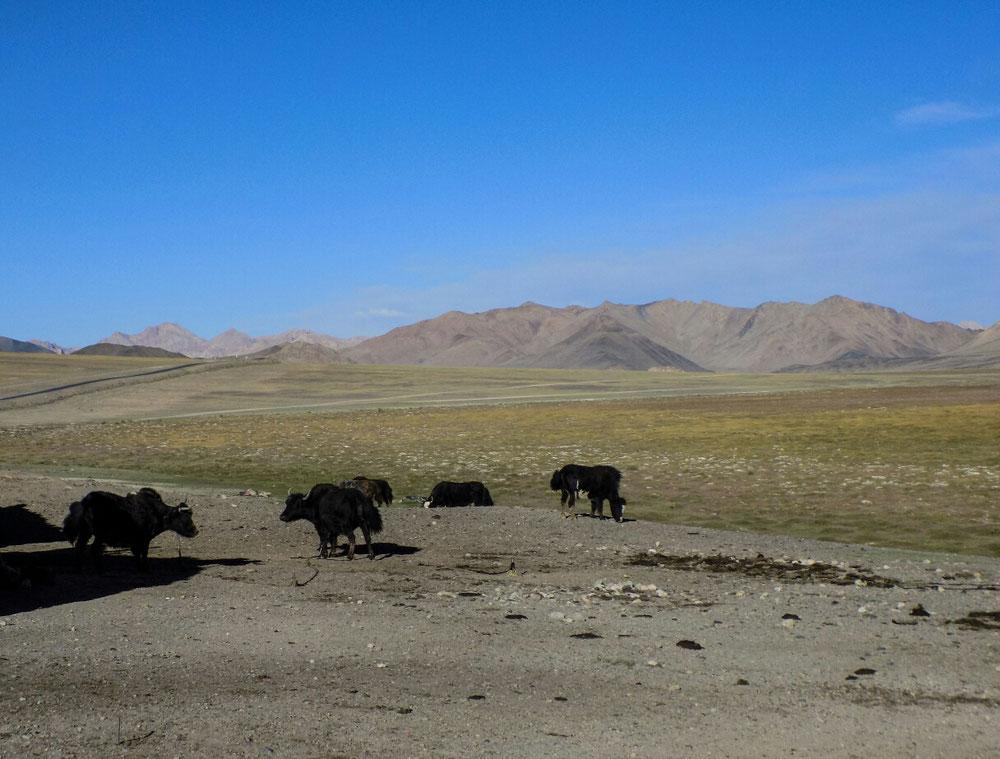 Les yacks, qui règnent en maître ici.