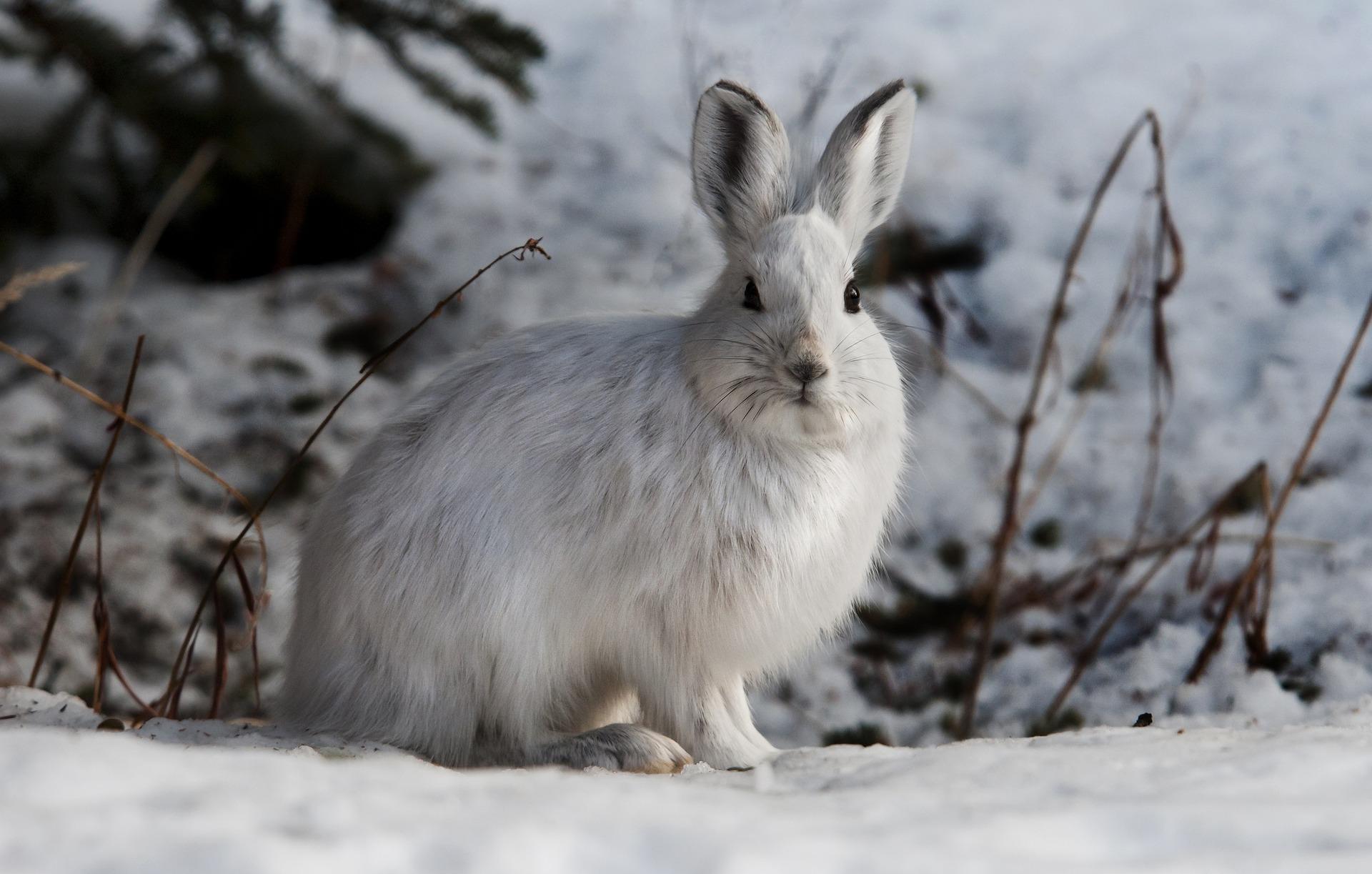 Der Schneehase hat im Winter ein dickes, warmes weißes Fell (via Pixabay von Skeeze)