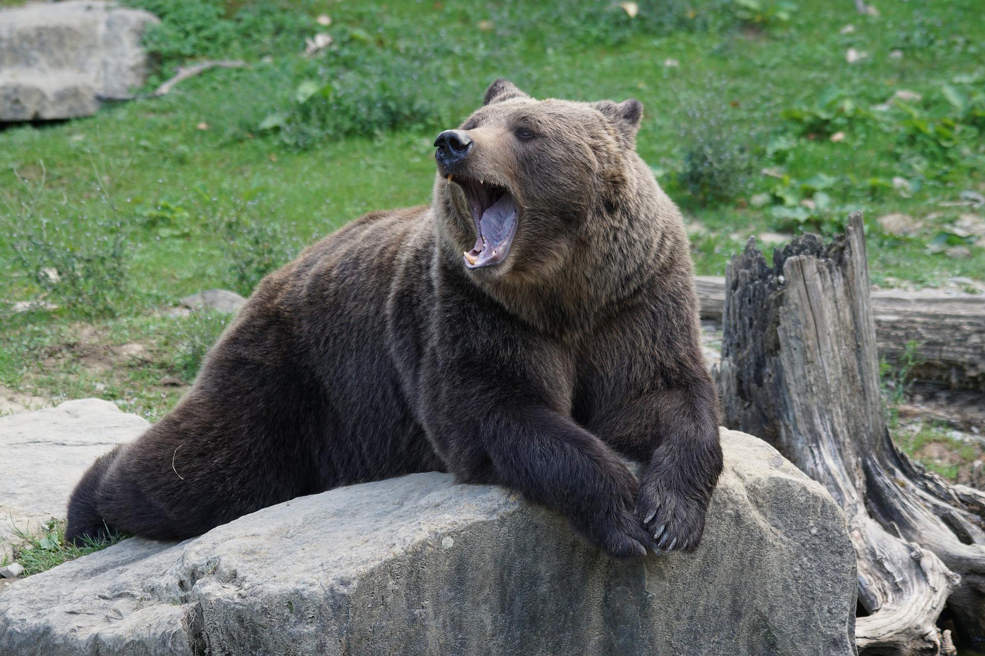 Der Braunbär ist schon müde - macht er bald Winterschlaf (via Pixabay von Marcel Tingham)