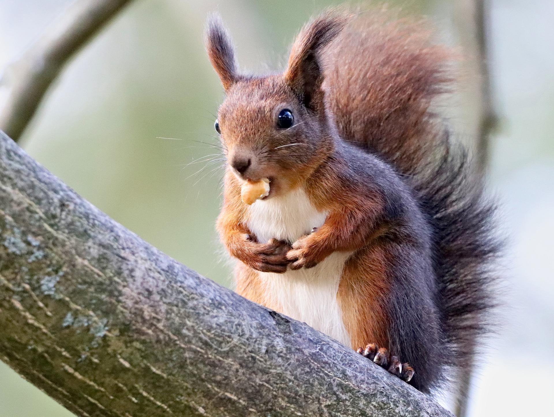 Das Eichhörnchen sammelt Vorräte für den Winter (via pixabay)