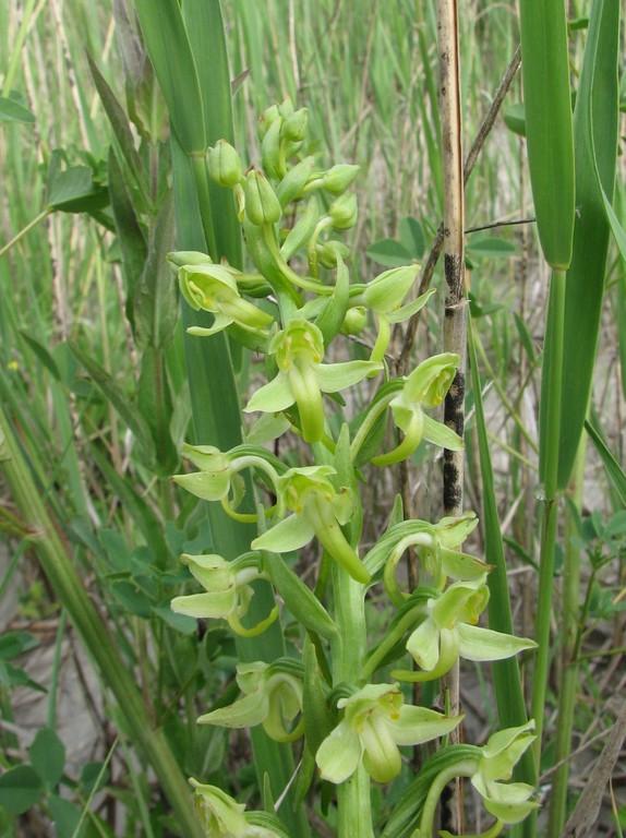 Platanthera algeriensis