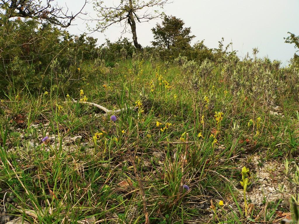 Garrigue sur terrain xérophile accueillant des Ophrys lutea