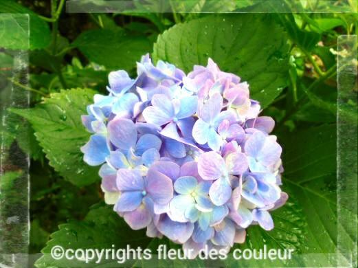 綺麗な紫陽花なのでupしときます(*´∀`*)