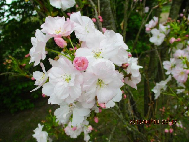 🌸桜が綺麗です。