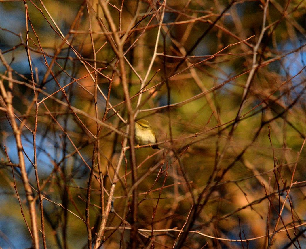 Goldhähnchen-Laubsänger