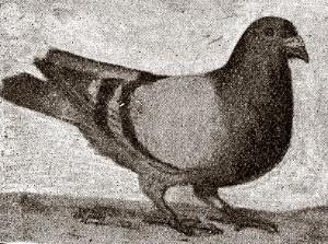 Blauwe doffer van de gebr. Schurgers uit Maastricht, won in 1904 de eerste prijs van een internationaal concours uit Madrid