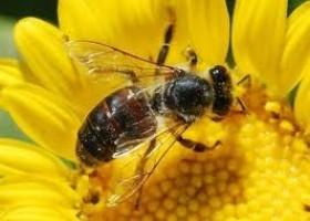 Door nieuwe bestrijdingsmiddelen kunnen bijen hun korf niet terugvinden. Dit verklaart de bijensterfte van de afgelopen jaren.