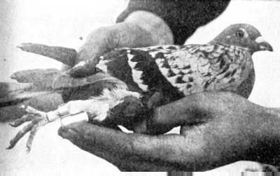 Een duif met berichtenkoker die gebruikt werd door de RAF