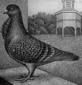 Luikse duif, kruisingsproduct