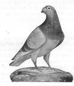 Een Antwerpse duif van later datum