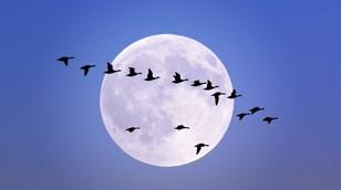 Trekvogels en postduiven worden vaak over één kam geschoren. Het is nog de vraag of dat wel correct is. Onderzoek naar de navigatie is natuurlijk met postduiven makkelijker uit te voeren.