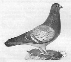 Een Luikse duif van later datum