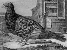 Deze zogenaamde platneusduif werd in België gehouden voordat men de postduif kweekte