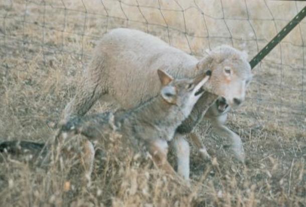 Un coyote ataca a menudo al picar la garganta de la presa