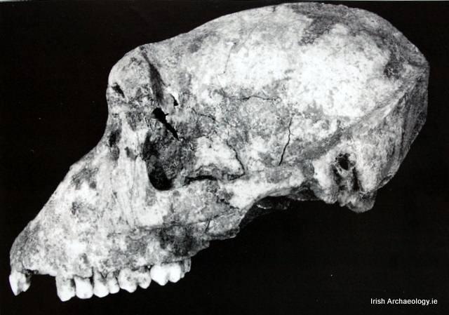 Cráneo de un mono de Berbería hallado en Fuerte Navan, Irlanda.