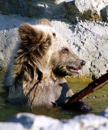Bear cub Bodia enjoying himself in a pool in a Four Paws bear rescue station in Ukraine - © FOUR PAWS | Maryna Shkvyria - Vier Pfoten International