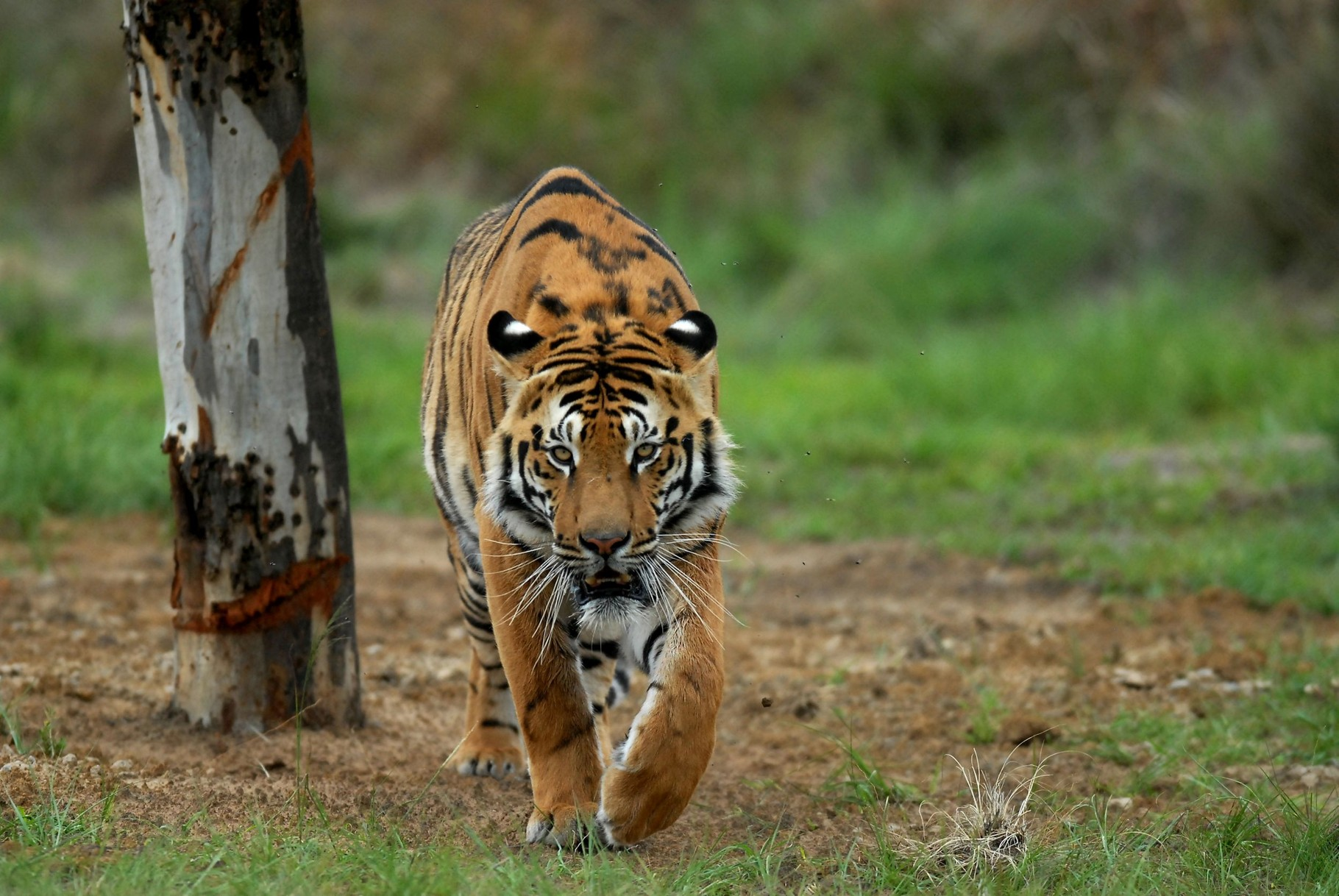 Moving tiger in LIONSROCK, the FOUR PAWS Big Cat Sanctuary in South Africa © VIER PFOTEN | Mihai Vasile