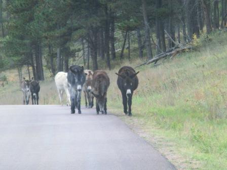 bettelnde Burro-Esel