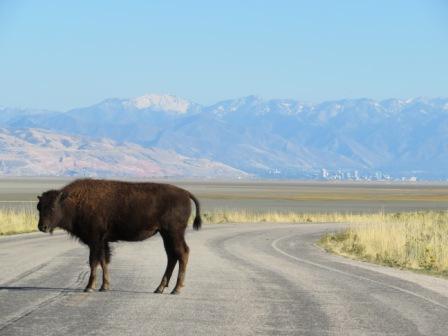 Bisons auf Antelope Island