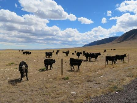 schwarze Rinderherden überall