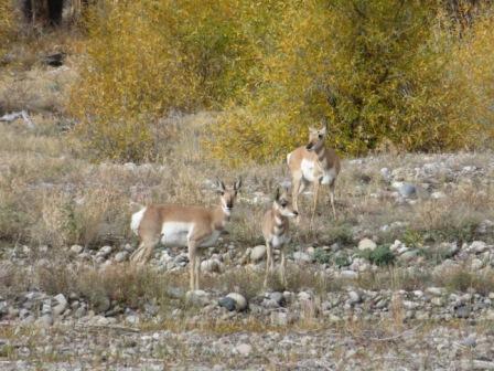 Pronghorn Antilopen