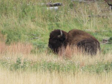 ein freies Bison