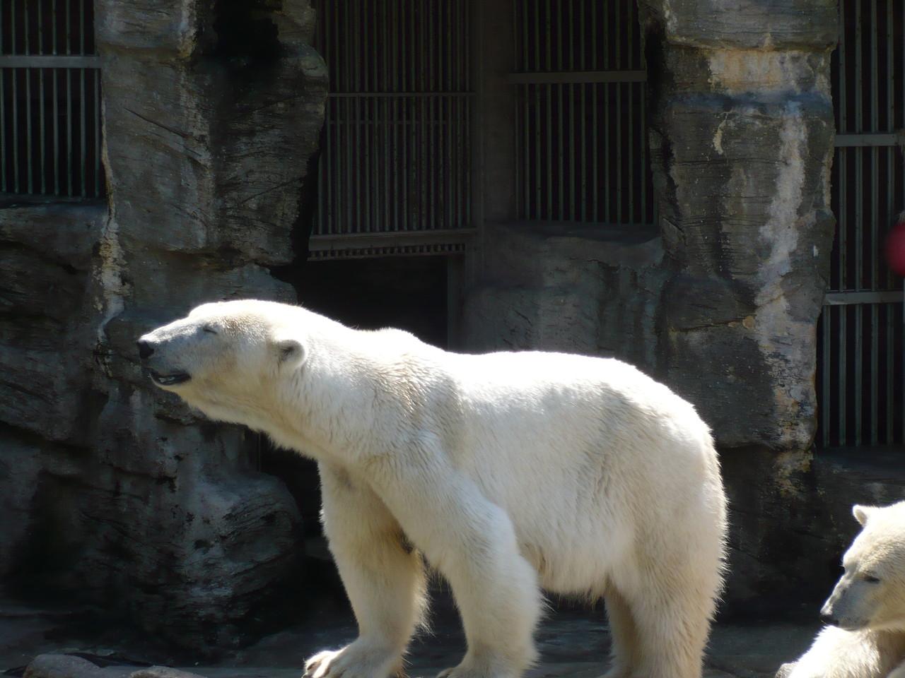 Eisbär - Tierpark - Wien