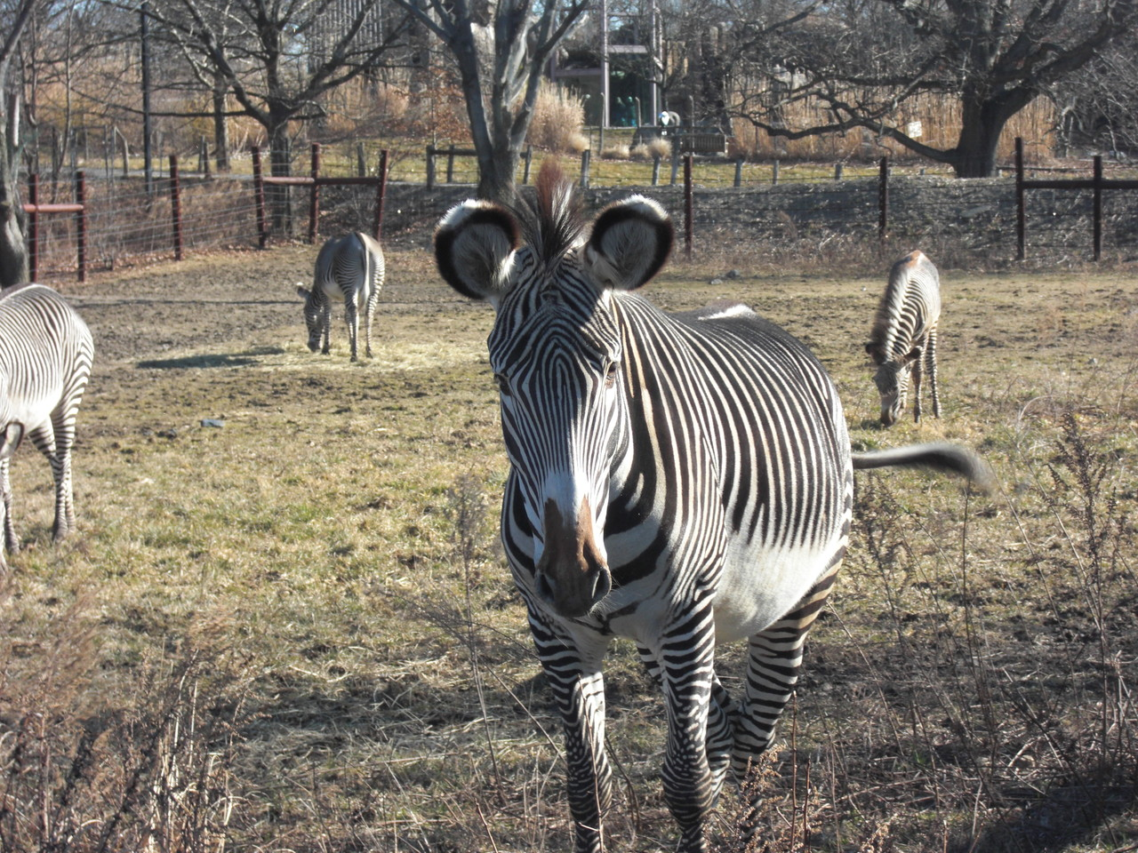 Zebras - Franklin Park Zoo - Umgebung Boston