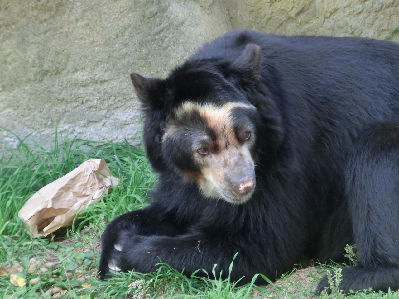 Bär - Lincoln Park Zoo - Chicago