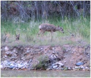 grasender Elk