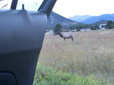 Elk Herde am Straßenrand in Estes Park - aus dem Auto heraus - sie sind super nah