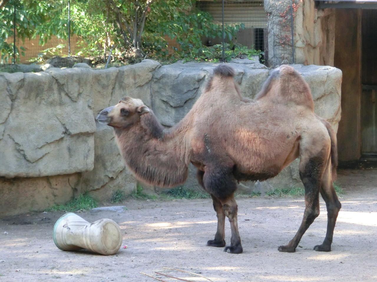 Kamel - Lincoln Park Zoo - Chicago
