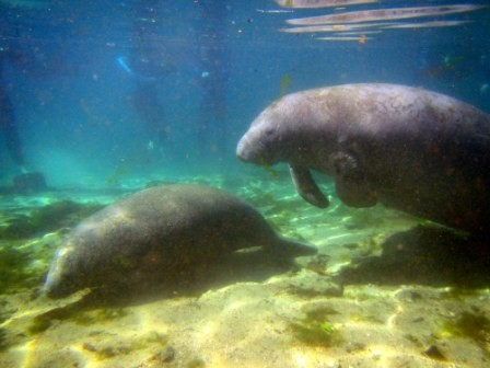 """Swim with Manatees"" in Crystal River"