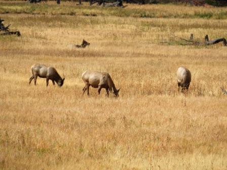 Grasende Elks