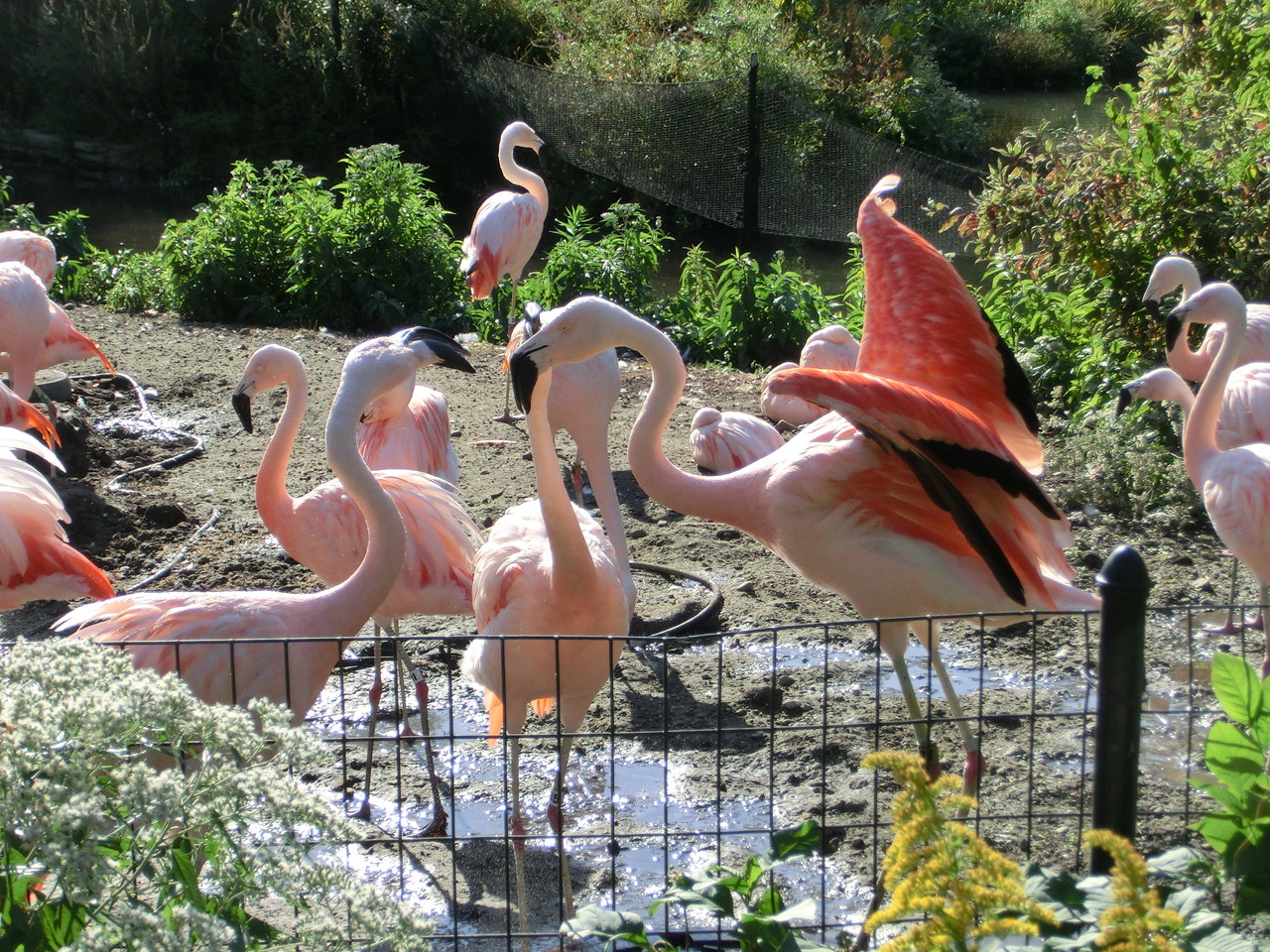 Flamingos - Lincoln Park Zoo - Chicago