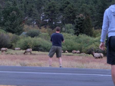 Elk Herde am Straßenrand in Estes Park