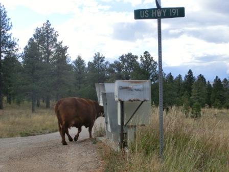 Kuh auf dem US Highway...