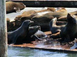 Seelöwen am Pier 39