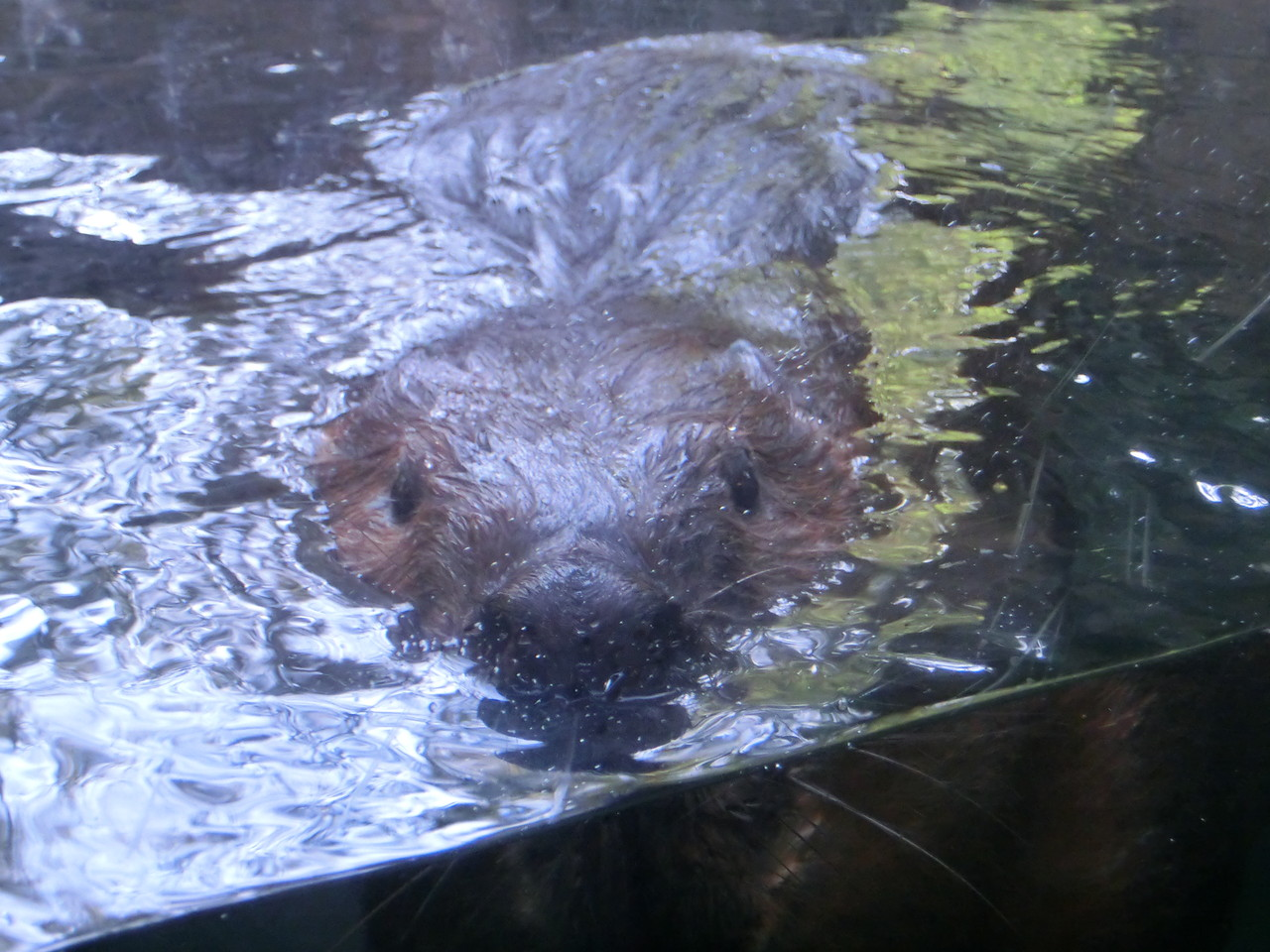 Bieber - Lincoln Park Zoo - Chicago