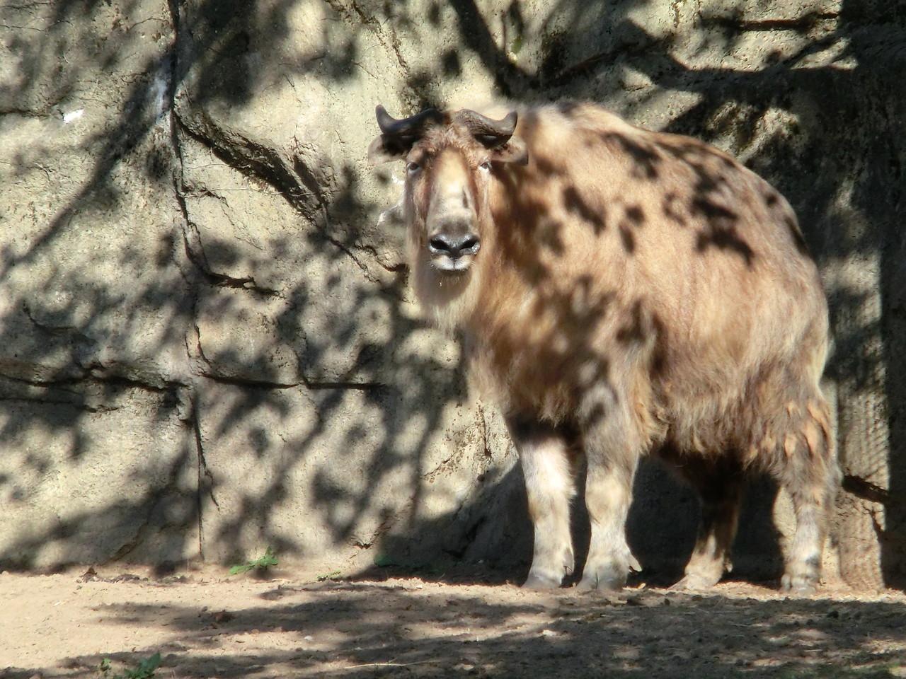 Sichuan Takin - Lincoln Park Zoo - Chicago