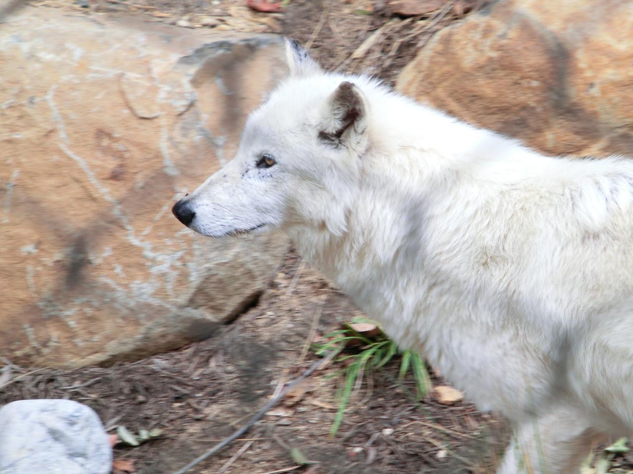 Wolf - Washington Zoo - D.C.