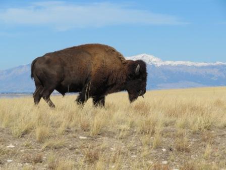 Bison im Antelope Island State Park