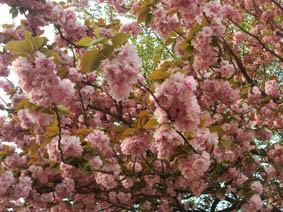 八重桜満開の画像