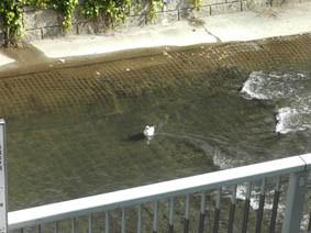 絵本塾の前の神田川にカモメ