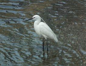神田川の白鷺の画像